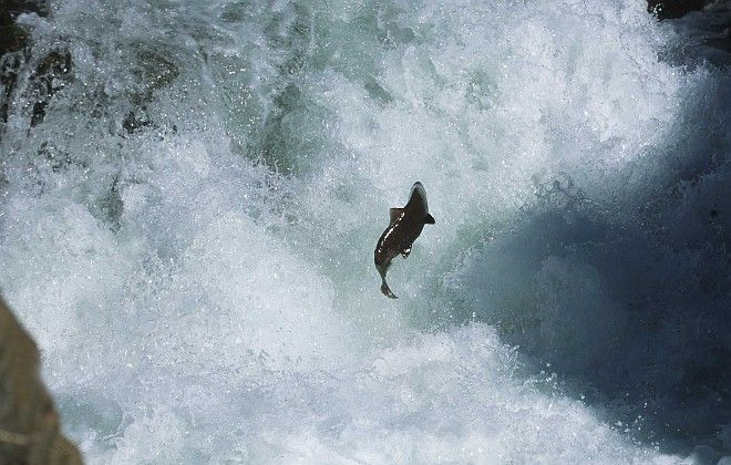 Salmon Jumping Upstream, 2001. State of California, USA. Photo Credit: Gary Kramer (2001, http://photogallery.nrcs.usda.gov, NRCSCA02004), USDA Natural Resources Conservation Service (NRCS, http://www.nrcs.usda.gov), United States Department of Agriculture (USDA, http://www.usda.gov), Government of the United States of America (USA).