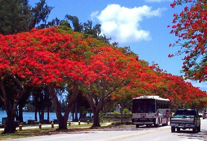 The Spectacular Bright Red Blooms of the Flame Trees in Saipan, Commonwealth of the Northern Mariana Islands, USA. Photo Credit: United States District Court for the Northern Mariana Islands - Information About the Northern Mariana Islands (http://www.nmid.USCourts.gov/cnmi_info/cnmi_info.html), United States District Court for the Northern Mariana Islands (http://www.nmid.USCourts.gov), United States Courts - The Federal Judicary (U.S. Courts, http://www.USCourts.gov), Government of the United States of America (USA).