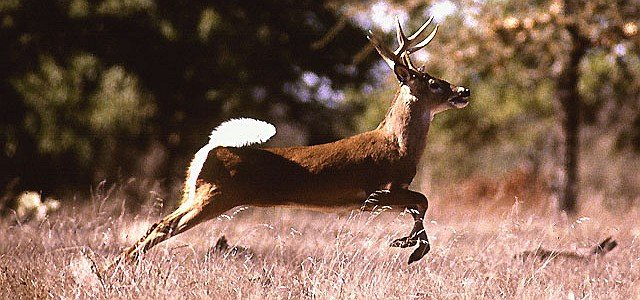 White-tail Deer in Flight. Photo Credit: Scott Bauer (http://www.ars.usda.gov/is/graphics/photos, K5437-1), Agricultural Research Service (ARS, http://www.ars.usda.gov), United States Department of Agriculture (USDA, http://www.usda.gov), Government of the United States of America (USA).