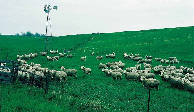 Flock of Sheep on Vivid Green Grazing Pasture, State of Iowa, USA. Photo Credit: NRCS Photo Gallery Photo (1999, http://photogallery.nrcs.usda.gov, NRCSIA99666), USDA Natural Resources Conservation Service (NRCS, http://www.nrcs.usda.gov), United States Department of Agriculture (USDA, http://www.usda.gov), Government of the United States of America (USA).