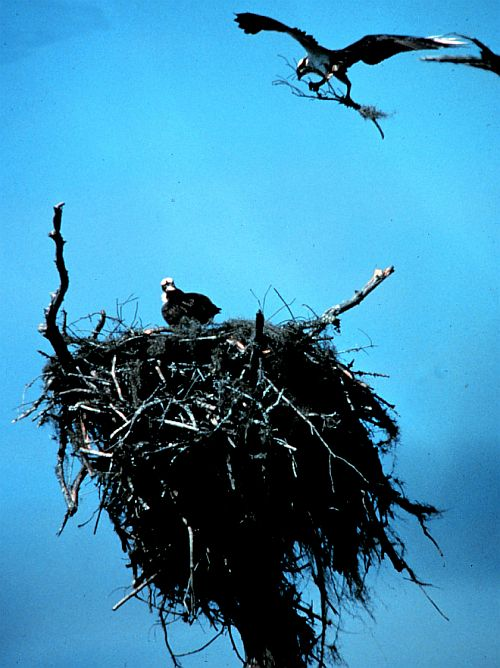 An Osprey Pair Continue Building Their Large Nest on Otter Island. ACE Basin National Estuarine Research Reserve. Forty-five (45) Miles South of Charleston, State of South Carolina, USA. Photo Credit: NOAA Central Library, National Oceanic and Atmospheric Administration Photo Library (http://www.photolib.noaa.gov, nerr0018), NOAA National Estuarine Research Reserve Collection, National Oceanic and Atmospheric Administration (NOAA, http://www.noaa.gov), United States Department of Commerce (http://www.commerce.gov), Government of the United States of America (USA).