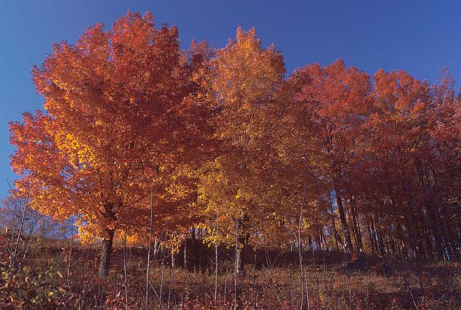 Sugar Maple Trees in Their Fall Season Colors, Autumn 1984. State of Vermont, USA. Photo Credit: Tim McCabe (1984, http://photogallery.nrcs.usda.gov, NRCSVT84004), USDA Natural Resources Conservation Service (NRCS, http://www.nrcs.usda.gov), United States Department of Agriculture (USDA, http://www.usda.gov), Government of the United States of America (USA).