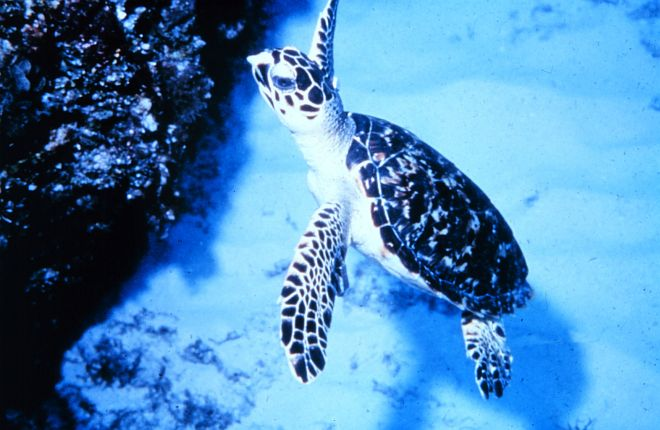 Sea Turtle at the Jobos Bay National Estuarine Research Reserve, Jobos Bay, Commonwealth of Puerto Rico, USA. Photo Credit: NOAA Central Library, National Oceanic and Atmospheric Administration Photo Library (http://www.photolib.noaa.gov, nerr0500), NOAA National Estuarine Research Reserve Collection, National Oceanic and Atmospheric Administration (NOAA, http://www.noaa.gov), United States Department of Commerce (http://www.commerce.gov), Government of the United States of America (USA).