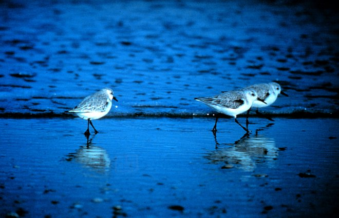 Sanderlings Looking for a Meal, North Carolina National Estuarine Research Reserve. Masonboro Island, State of North Carolina, USA. Photo Credit: NOAA Central Library, National Oceanic and Atmospheric Administration Photo Library (http://www.photolib.noaa.gov, nerr0089), NOAA National Estuarine Research Reserve Collection, National Oceanic and Atmospheric Administration (NOAA, http://www.noaa.gov), United States Department of Commerce (http://www.commerce.gov), Government of the United States of America (USA).