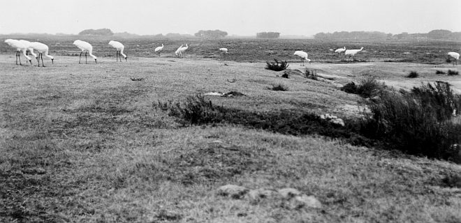 Whooping Cranes (Grus americana) Search for Food Quietly, Peacefully. Aransas National Wildlife Refuge, State of Texas, USA. Photo Credit: Robert W. Hines, NCTC Image Library, United States Fish and Wildlife Service Digital Library System (http://images.fws.gov, WV-14-Centennial Historic CD 2), United States Fish and Wildlife Service (FWS, http://www.fws.gov), United States Department of the Interior (http://www.doi.gov), Government of the United States of America (USA).