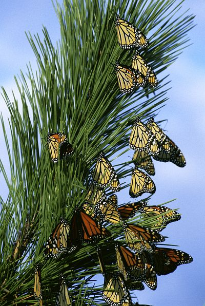 Migrating Monarch Butterflies (Danus plexippus), With Bright Orange and Yellow Wings, Rest in a Tree. Photo Credit: Gene Nieminen, NCTC Image Library, United States Fish and Wildlife Service Digital Library System (http://images.fws.gov, WV-1124-NJ1), United States Fish and Wildlife Service (FWS, http://www.fws.gov), United States Department of the Interior (http://www.doi.gov), Government of the United States of America (USA).