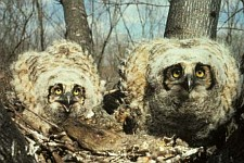 1. Great Horned Owl Chicks, Bubo virginianus. Photo Credit: U.S. Fish and Wildlife Service, Alaska Image Library, United States Fish and Wildlife Service Digital Library System (http://images.fws.gov, AK/RO/01565), United States Fish and Wildlife Service (FWS, http://www.fws.gov), United States Department of the Interior (http://www.doi.gov), Government of the United States of America (USA).