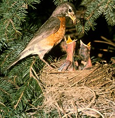 2. Robin with Chicks. Photo Credit: James C. Leupold, Washington DC Library, United States Fish and Wildlife Service Digital Library System (http://images.fws.gov, WO2411-011), United States Fish and Wildlife Service (FWS, http://www.fws.gov), United States Department of the Interior (http://www.doi.gov), Government of the United States of America (USA).