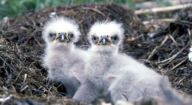 1. Bald Eagle Chicks, Haliaeetus leucocephalus, in the Nest. Photo Credit: Dave Menke, NCTC Image Library, United States Fish and Wildlife Service Digital Library System (http://images.fws.gov, WV11571), United States Fish and Wildlife Service (FWS, http://www.fws.gov), United States Department of the Interior (http://www.doi.gov), Government of the United States of America (USA).