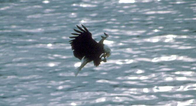 2. Adult Bald Eagle, Haliaeetus leucocephalus, Fishing While in Flight. Photo Credit: U.S. Fish and Wildlife Service, Alaska Image Library, United States Fish and Wildlife Service Digital Library System (http://images.fws.gov, AK/RO/00617), United States Fish and Wildlife Service (FWS, http://www.fws.gov), United States Department of the Interior (http://www.doi.gov), Government of the United States of America (USA).