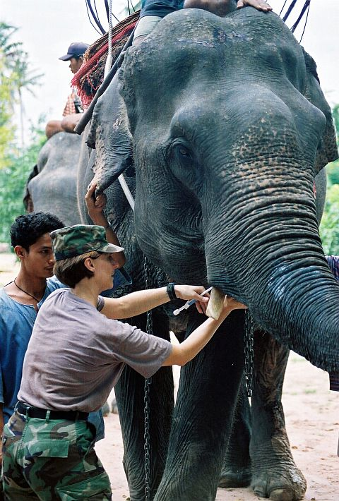 Tall, Massive Asian Elephant Receives Medical Attention at Pattaya Elephant Village, a Sanctuary for Retired Working Elephants, on June 12, 2002. Pattaya, Kingdom of Thailand. Photo Credit: Lt. Cmdr. Pam Warnken, Navy NewsStand – Eye on the Fleet Photo Gallery (http://www.news.navy.mil/view_photos.asp, 020612-N-3428W-050), United States Navy (USN, http://www.navy.mil), United States Department of Defense (DoD, http://www.DefenseLink.mil or http://www.dod.gov), Government of the United States of America (USA). Additional information for Pattaya Elephant Village in English <http://www.elephant-village-pattaya.com> and Thai <http://www.thai.elephant-village-pattaya.com>.