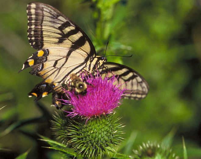 Swallowtail Butterfly and Bee Share a Thistle, Edwin B. Forsythe National Wildlife Refuge, State of New Jersey, USA. Photo Credit: John and Karen Hollingsworth, Washington DC Library, United States Fish and Wildlife Service Digital Library System (http://images.fws.gov, WO8287-highlights), United States Fish and Wildlife Service (FWS, http://www.fws.gov), United States Department of the Interior (http://www.doi.gov), Government of the United States of America (USA).