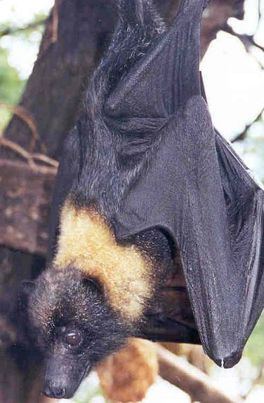 The Mariana Fruit Bat or Mariana Flying Fox (Pteropus mariannus mariannus) Lives in the Commonwealth of the Northern Mariana Islands, USA and Territory of Guam, USA. Photo Credit: Ann Hudgins, Washington DC Library, United States Fish and Wildlife Service Digital Library System (http://images.fws.gov, WO-Electronic-92), United States Fish and Wildlife Service (FWS, http://www.fws.gov), United States Department of the Interior (http://www.doi.gov), Government of the United States of America (USA). Additional information from the United States Fish and Wildlife Service: Species Profile for Mariana fruit Bat (=Mariana flying fox) <http://ecos.fws.gov/species_profile/SpeciesProfile?spcode=A07X>.