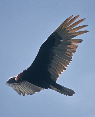 2. Turkey Vulture, Cathartes aura, in flight. Photo credit: Lee Karney, Washington DC Library, United States Fish and Wildlife Service Digital Library System (http://images.fws.gov, WO-Lee Karney-4784), United States Fish and Wildlife Service (FWS, http://www.fws.gov), United States Department of the Interior (http://www.doi.gov), Government of the United States of America (USA).