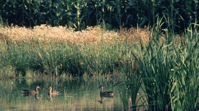 Ducks in the Wetlands, State of Maryland, USA. Photo Credit: Gene Whitaker, Washington DC Library, United States Fish and Wildlife Service Digital Library System (http://images.fws.gov, WO-Wetlands-3684), United States Fish and Wildlife Service (FWS, http://www.fws.gov), United States Department of the Interior (http://www.doi.gov), Government of the United States of America (USA).