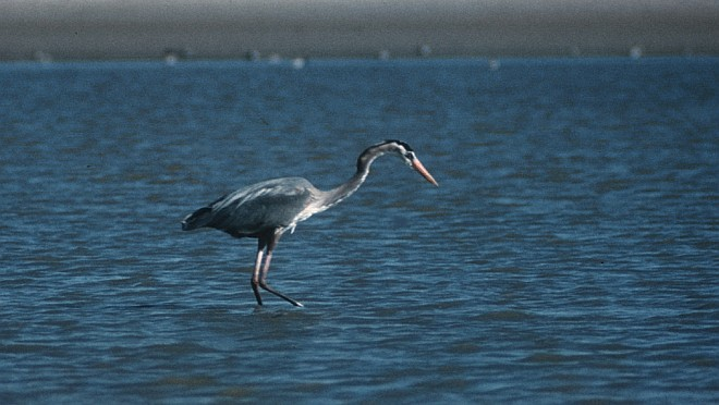 Great Blue Heron, Ardea herodias, Fishing for a Meal. Photo Credit: Alaska Image Library, United States Fish and Wildlife Service Digital Library System (http://images.fws.gov, AK/RO/01377), United States Fish and Wildlife Service (FWS, http://www.fws.gov), United States Department of the Interior (http://www.doi.gov), Government of the United States of America (USA).