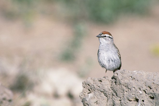 Chipping Sparrow, Spizella passerina. Photo Credit: Dave Menke, NCTC Image Library, United States Fish and Wildlife Service Digital Library System (http://images.fws.gov, WV-996-MenkeBirds4), United States Fish and Wildlife Service (FWS, http://www.fws.gov), United States Department of the Interior (http://www.doi.gov), Government of the United States of America (USA).