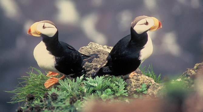 Meet the Horned Puffins (Fratercula corniculata), Two Cute Cliff Dwellers. Photo Credit: Richard Baetsen, Washington DC Library, United States Fish and Wildlife Service Digital Library System (http://images.fws.gov, WO3526-highlights), United States Fish and Wildlife Service (FWS, http://www.fws.gov), United States Department of the Interior (http://www.doi.gov), Government of the United States of America (USA).