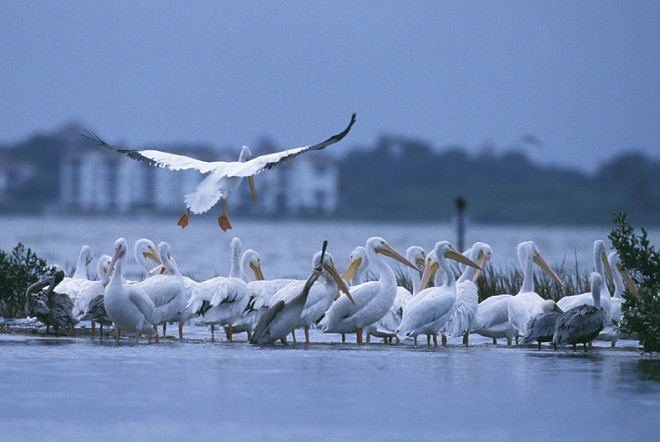 The Airborne White Pelican Makes Flying and Landing Look Graceful and Effortless, Pelican Island National Wildlife Refuge, State of Florida, USA. Photo Credit: George Gentry, NCTC Image Library, United States Fish and Wildlife Service Digital Library System (http://images.fws.gov, WV-PelicanIsland-1376), United States Fish and Wildlife Service (FWS, http://www.fws.gov), United States Department of the Interior (http://www.doi.gov), Government of the United States of America (USA).