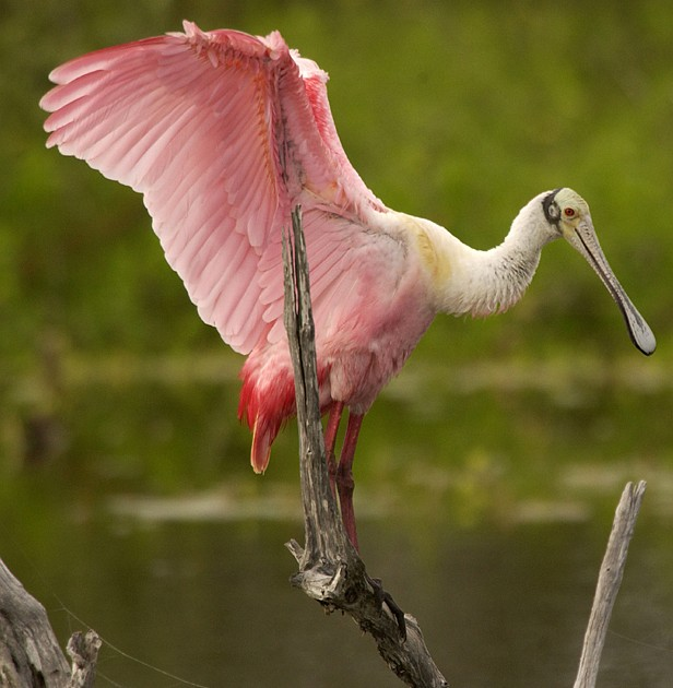 The Roseate Spoonbill (Ajaia ajaja) Opens Its Large Wings Displaying Beautiful Plumage. Pelican Island National Wildlife Refuge, State of Florida, USA. Photo Credit: Ryan Hagerty, NCTC Image Library, United States Fish and Wildlife Service Digital Library System (http://images.fws.gov), United States Fish and Wildlife Service (FWS, http://www.fws.gov), United States Department of the Interior (http://www.doi.gov), Government of the United States of America (USA).
