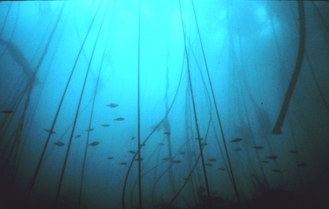 School of Rockfish Swimming Through a Forest of Tall Bull Whip Kelp, Gulf of the Farallones National Marine Sanctuary, State of California, USA. Photo Credit: NOAA Central Library, National Oceanic and Atmospheric Administration Photo Library (http://www.photolib.noaa.gov, sanc0128), Sanctuary Collection, National Oceanic and Atmospheric Administration (NOAA, http://www.noaa.gov), United States Department of Commerce (http://www.commerce.gov), Government of the United States of America (USA).