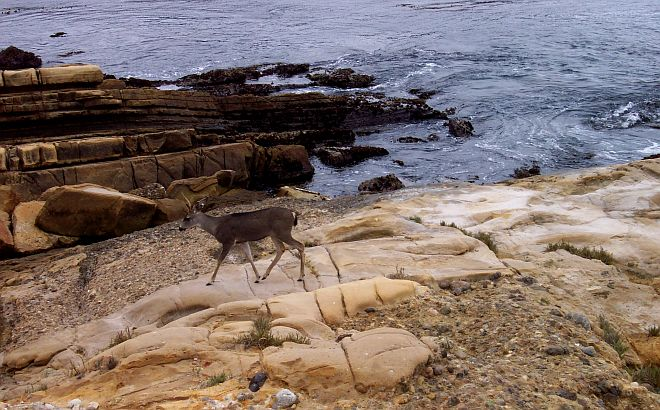 A Deer Walks Along the Pacific Ocean's Rocky Shoreline at Point Lobos, October 2003. Point Lobos State Reserve, State of California, USA. Photo Credit: Captain Albert E. Theberge, NOAA Corps (ret.), National Oceanic and Atmospheric Administration Photo Library (http://www.photolib.noaa.gov, line3056), America's Coastlines Collection, National Oceanic and Atmospheric Administration (NOAA, http://www.noaa.gov), United States Department of Commerce (http://www.commerce.gov), Government of the United States of America (USA).