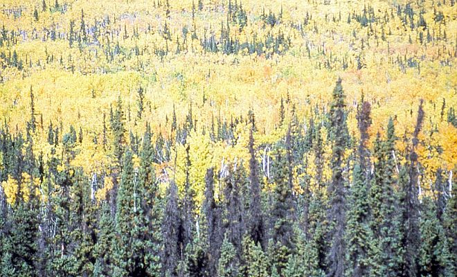 Tetlin National Wildlife Refuge Clothed in Cheerful and Bright Yellow Colors, State of Alaska, USA. Photo Credit: Alaska Image Library, United States Fish and Wildlife Service Digital Library System (http://images.fws.gov, Tetlin-0015), United States Fish and Wildlife Service (FWS, http://www.fws.gov), United States Department of the Interior (http://www.doi.gov), Government of the United States of America (USA).