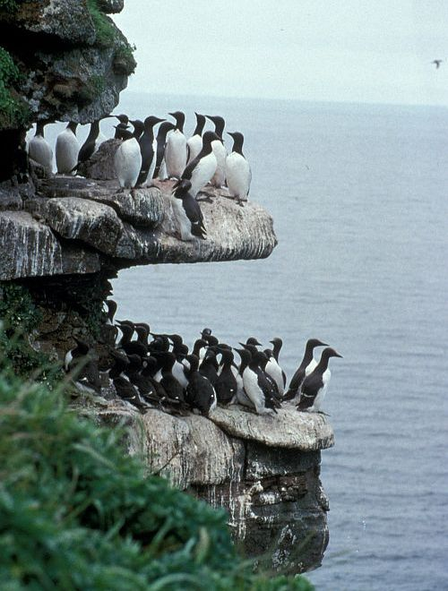 Murres on the Sea Cliffs Overlooking the Bering Sea. St. George, Pribilof Islands, State of Alaska, USA. Photo Credit: Dean Kildaw, United States Fish and Wildlife Service Digital Library System (http://images.fws.gov, DI-AMNWR-0199), United States Fish and Wildlife Service (FWS, http://www.fws.gov), United States Department of the Interior (http://www.doi.gov), Government of the United States of America (USA).