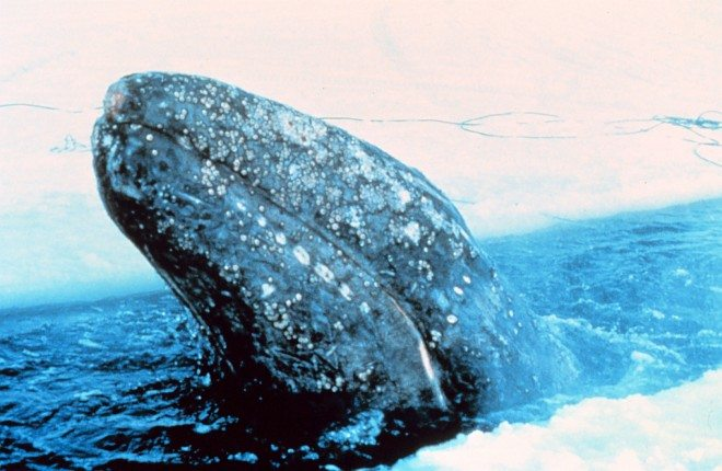 This Gray Whale, Eschrichtius robustus, is Trapped in Arctic Ocean Ice North of Point Barrow (State of Alaska, USA). Photo Credit: National Oceanic and Atmospheric Administration Photo Library (http://www.photolib.noaa.gov, anim0858), NOAA's Ark (Animals) Collection, NOAA Central Library, National Oceanic and Atmospheric Administration (NOAA, http://www.noaa.gov), United States Department of Commerce (http://www.commerce.gov), Government of the United States of America (USA).