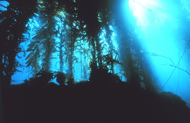 Giant Kelp Forest Under the Pacific Ocean, Channel Islands National Marine Sanctuary, State of California, USA. Photo Credit: NOAA Central Library, National Oceanic and Atmospheric Administration Photo Library (http://www.photolib.noaa.gov, sanc0001), Sanctuary Collection, National Oceanic and Atmospheric Administration (NOAA, http://www.noaa.gov), United States Department of Commerce (http://www.commerce.gov), Government of the United States of America (USA).
