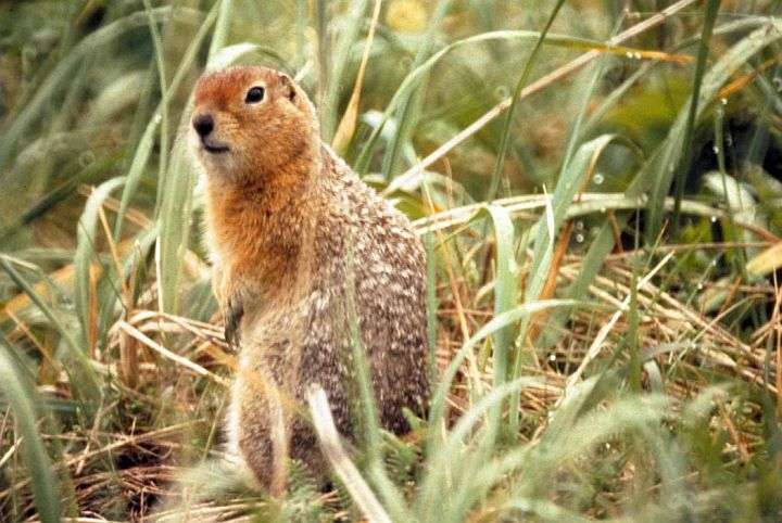 An Arctic Ground Squirrel in the Becharof National Wildlife Refuge, State of Alaska, USA. Photo Credit: Jim McCarthy, United States Fish and Wildlife Service Digital Library System (http://images.fws.gov, SL-03616), United States Fish and Wildlife Service (FWS, http://www.fws.gov), United States Department of the Interior (http://www.doi.gov), Government of the United States of America (USA).