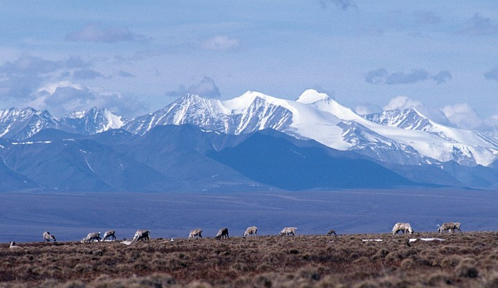 Magnificent View of the Brooks Range Mountains and Caribou, Rangifer tarandus, Grazing on the Costal Plain. 1002 Area, Arctic National Wildlife Refuge, State of Alaska, USA. Photo Credit: USFWS, Alaska Image Library, United States Fish and Wildlife Service Digital Library System (http://images.fws.gov), United States Fish and Wildlife Service (FWS, http://www.fws.gov), United States Department of the Interior (http://www.doi.gov), Government of the United States of America (USA).