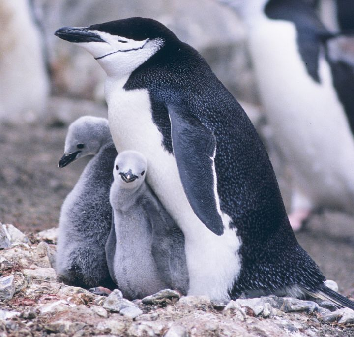 This Family of Chinstrap Penguins (Pygoscelis antarctica) Includes Two Cute Chicks, 1994-95 Austral Summer at Seal Island, Antarctica. Photo Credit: Lieutenant Philip Hall, NOAA Corps; National Oceanic and Atmospheric Administration Photo Library (http://www.photolib.noaa.gov, corp2963), NOAA Corps Collection, National Oceanic and Atmospheric Administration (NOAA, http://www.noaa.gov), United States Department of Commerce (http://www.commerce.gov), Government of the United States of America (USA).