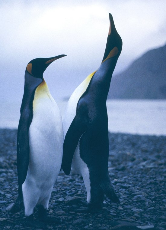The King Penguin (at left) Listens With Interest as Another King Penguin Sings Enthusiastically (at right), 1994-95 Austral Summer, South Georgia Island, Antarctica. Photo Credit: Lieutenant Philip Hall, NOAA Corps; National Oceanic and Atmospheric Administration Photo Library (http://www.photolib.noaa.gov, corp2987), NOAA Corps Collection, National Oceanic and Atmospheric Administration (NOAA, http://www.noaa.gov), United States Department of Commerce (http://www.commerce.gov), Government of the United States of America (USA).
