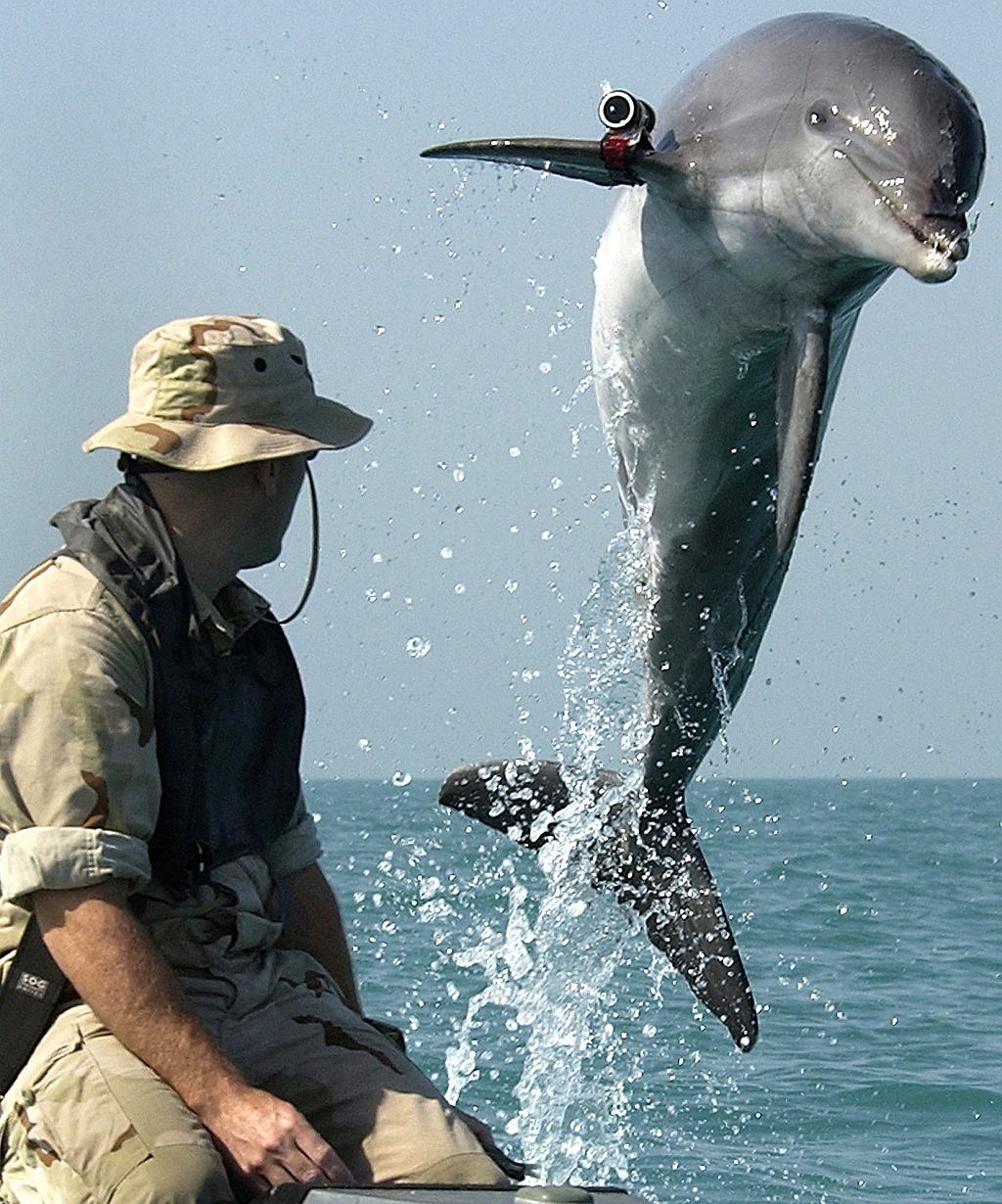 K-Dog, a Bottlenose Dolphin (Tursiops truncatus), Leaps Out of the Water While Training in the Arabian Gulf. Attached to the Bottle-nosed Dolphin's Pectoral Fin is a Tracking Device. March 18, 2003, Central Command Area of Responsibility. Photo Credit: Photographer's Mate 1st Class Brien Aho, Navy NewsStand - Eye on the Fleet Photo Gallery (http://www.news.navy.mil/view_photos.asp, 030318-N-5319A-002), United States Navy (USN, http://www.navy.mil), United States Department of Defense (DoD, http://www.DefenseLink.mil or http://www.dod.gov), Government of the United States of America (USA).