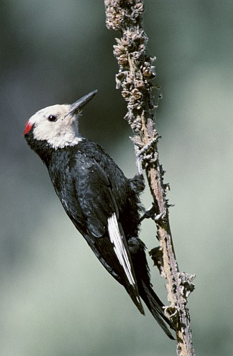 1. White-headed Woodpecker, Picoides albolarvatus. Photo Credit: Dave Menke, NCTC Image Library, United States Fish and Wildlife Service Digital Library System (http://images.fws.gov, WV-1073-menkebirds3), United States Fish and Wildlife Service (FWS, http://www.fws.gov), United States Department of the Interior (http://www.doi.gov), Government of the United States of America (USA).