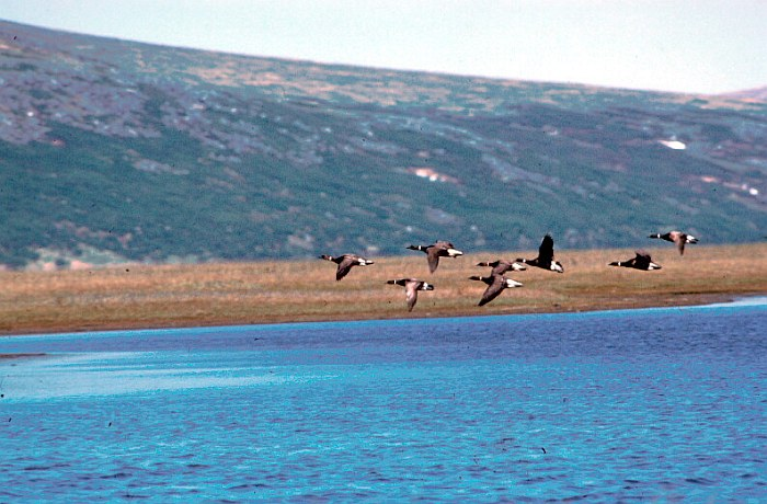 Flock of Brant Geese (Branta bernicla), or Brant, Fly Over the Water. Yukon Delta National Wildlife Refuge, State of Alaska, USA. Photo Credit (Full size): USFWS, Alaska Image Library, United States Fish and Wildlife Service Digital Library System (http://images.fws.gov, AK/RO/00927), United States Fish and Wildlife Service (FWS, http://www.fws.gov), United States Department of the Interior (http://www.doi.gov), Government of the United States of America (USA).