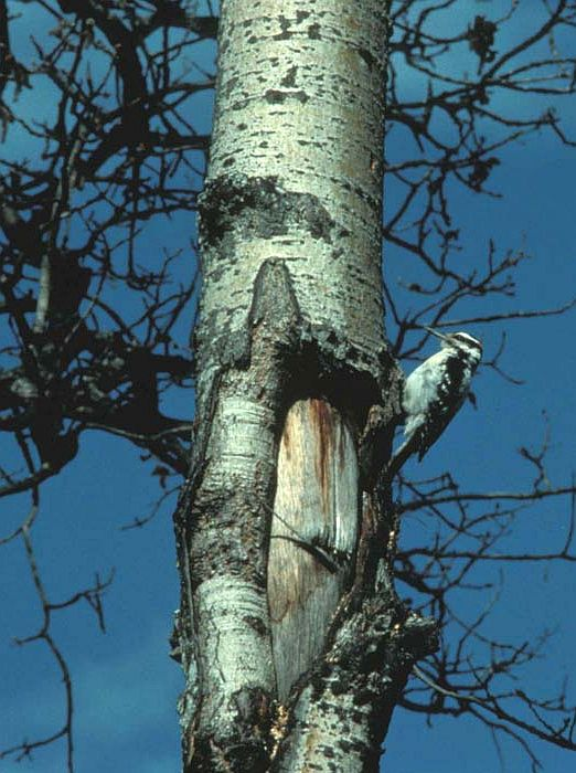Hairy Woodpecker (Picoides villosus) on the Tree Trunk. Photo Credit: M. North, Alaska Image Library, United States Fish and Wildlife Service Digital Library System (http://images.fws.gov, Woodpecker File), United States Fish and Wildlife Service (FWS, http://www.fws.gov), United States Department of the Interior (http://www.doi.gov), Government of the United States of America (USA).