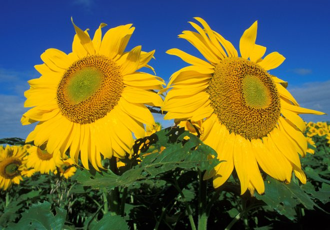 2. From the Creator's Hands, Beauty and the Beautiful: Sunflowers With Their Cheery-Bright Yellow Flower Heads. Photo Credit: Bruce Fritz (http://www.ars.usda.gov/is/graphics/photos, K5752-2), Agricultural Research Service (ARS, http://www.ars.usda.gov), United States Department of Agriculture (USDA, http://www.usda.gov), Government of the United States of America (USA).