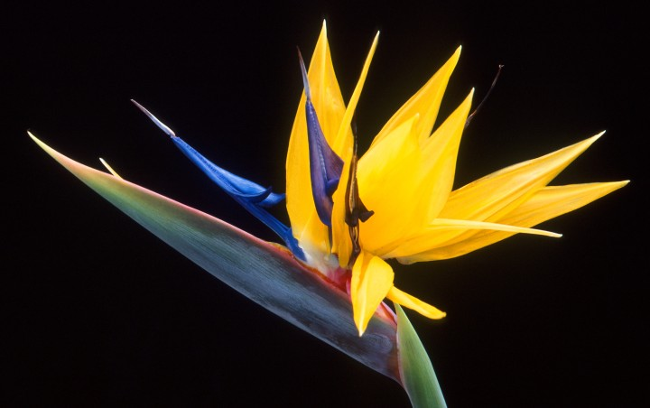 1. Another Amazing Creative Work From the Hands of Our Creator: The Distinctively Shaped, Scentless, and Very Beautiful Flower of the Bird of Paradise (Strelitzia reginae), an Herb and Member of the Banana Family. Scott Bauer (http://www.ars.usda.gov/is/graphics/photos, K9054-1), Agricultural Research Service (ARS, http://www.ars.usda.gov), United States Department of Agriculture (USDA, http://www.usda.gov), Government of the United States of America (USA).