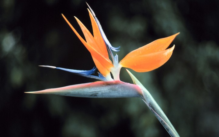 2. Another Amazing Creative Work From the Creator's Hand: The Distinctively Shaped, Scentless, and Very Beautiful Blossom of the Bird of Paradise (Strelitzia reginae), an Herb and Member of the Banana Family. Photo Credit: Commander John Bortniak, NOAA Corps (ret.) in State of Hawaii, USA; National Oceanic and Atmospheric Administration Photo Library (http://www.photolib.noaa.gov, line0443), America's Coastlines Collection, NOAA Central Library, National Oceanic and Atmospheric Administration (NOAA, http://www.noaa.gov), United States Department of Commerce (http://www.commerce.gov), Government of the United States of America (USA).