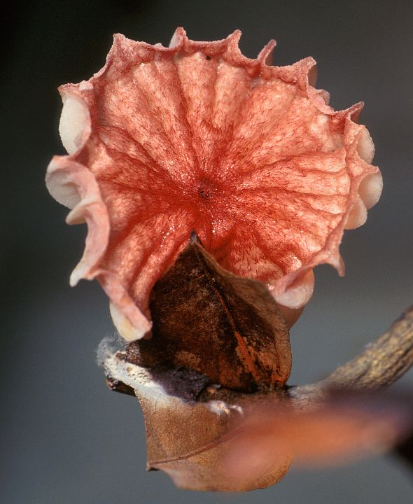 The fan-shaped basidiocarp of this 1-inch-wide mushroom, Crinipellis perniciosa, releases spores that causes Witches' Broom, a fungal disease that can infect the cacao tree and drastically reduce the quantity of cacao beans. Photo Credit: Scott Bauer (http://www.ars.usda.gov/is/graphics/photos, K8626-1), Agricultural Research Service (ARS, http://www.ars.usda.gov), United States Department of Agriculture (USDA, http://www.usda.gov), Government of the United States of America (USA).