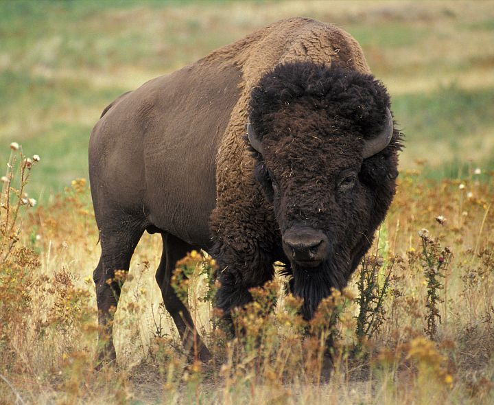 """Strictly Vegetarian, Standing Six Feet Tall at the Shoulder and Weighing 1,000 to 2,000 Pounds (Between Half a Ton and One Ton), the American Bison (Bison bison), or """"Buffalo"""" (""""American Buffalo"""") as It is Sometimes Called, is a Fast, Massive and Very Powerful Beast. Photo Credit: Jack Dykinga (http://www.ars.usda.gov/is/graphics/photos, K5680-1), Agricultural Research Service (ARS, http://www.ars.usda.gov), United States Department of Agriculture (USDA, http://www.usda.gov), Government of the United States of America (USA)."""
