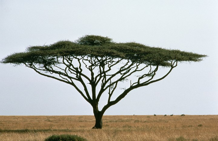 Umbrella Thorn Acacia Tree, Acacia tortillis, on the African Grassland, United Republic of Tanzania, Africa. Photo Credit: Gary M. Stolz, Washington DC Library, United States Fish and Wildlife Service Digital Library System (http://images.fws.gov, WO-Scenic-124), United States Fish and Wildlife Service (FWS, http://www.fws.gov), United States Department of the Interior (http://www.doi.gov), Government of the United States of America (USA).