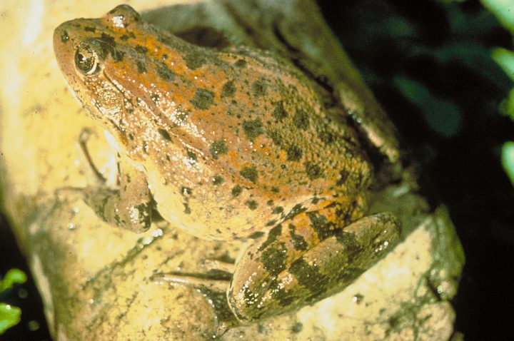 Red-legged Frog (Rana aurora). Photo Credit: Marc P. Hayes, Washington DC Library, United States Fish and Wildlife Service Digital Library System (http://images.fws.gov, WO5410-26), United States Fish and Wildlife Service (FWS, http://www.fws.gov), United States Department of the Interior (http://www.doi.gov), Government of the United States of America (USA).
