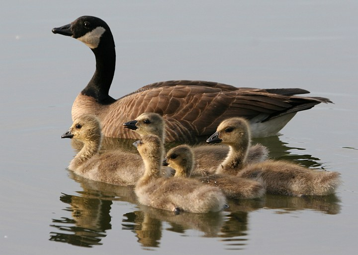 Pleasant Scene of an Adult Lesser Canada Goose (Branta canadensis), and close by, Five Baby Lesser Canada Geese at Cheney Lake in Anchorage, State of Alaska, USA. Photo Credit: Donna Dewhurst, Alaska Image Library, United States Fish and Wildlife Service Digital Library System (http://images.fws.gov, DI-Dewhurst,D-LCGBrood), United States Fish and Wildlife Service (FWS, http://www.fws.gov), United States Department of the Interior (http://www.doi.gov), Government of the United States of America (USA).
