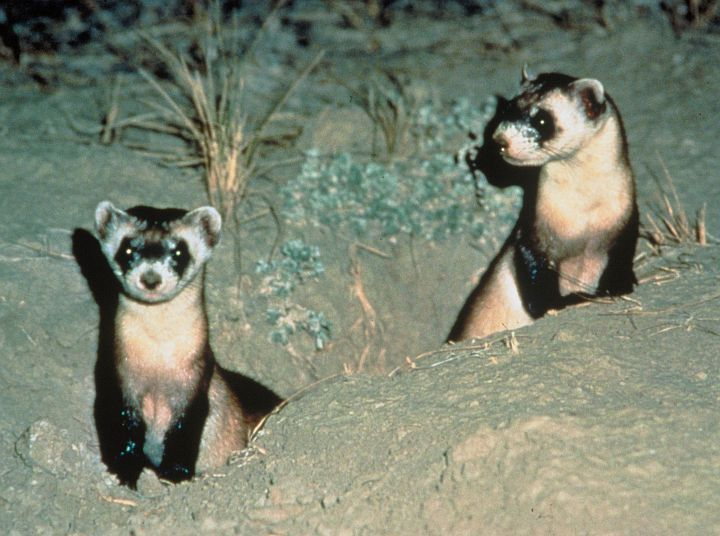 1. A Two Cute (and Alert) Black-footed Ferrets, Mustela nigripes. Photo Credit: LuRay Parker, Washington DC Library, United States Fish and Wildlife Service Digital Library System (http://images.fws.gov, WO4668-Highlights), United States Fish and Wildlife Service (FWS, http://www.fws.gov), United States Department of the Interior (http://www.doi.gov), Government of the United States of America (USA).