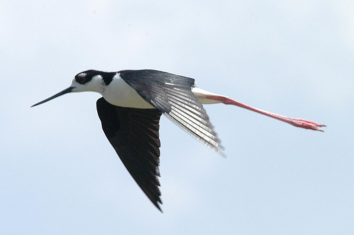 While Soaring Through the Air, This Black-necked Stilt Makes an Unforgettable Impression With Its Distinctive Long Bill, Black and White Coloring, and Very Long Red Legs. Kennedy Space Center, Merritt Island National Wildlife Refuge, State of Florida, USA. Photo Credit: Kennedy Media Gallery - Wildlife (http://mediaarchive.ksc.nasa.gov) Photo Number: KSC-04PD-1248, John F. Kennedy Space Center (KSC, http://www.nasa.gov/centers/kennedy), National Aeronautics and Space Administration (NASA, http://www.nasa.gov), Government of the United States of America.