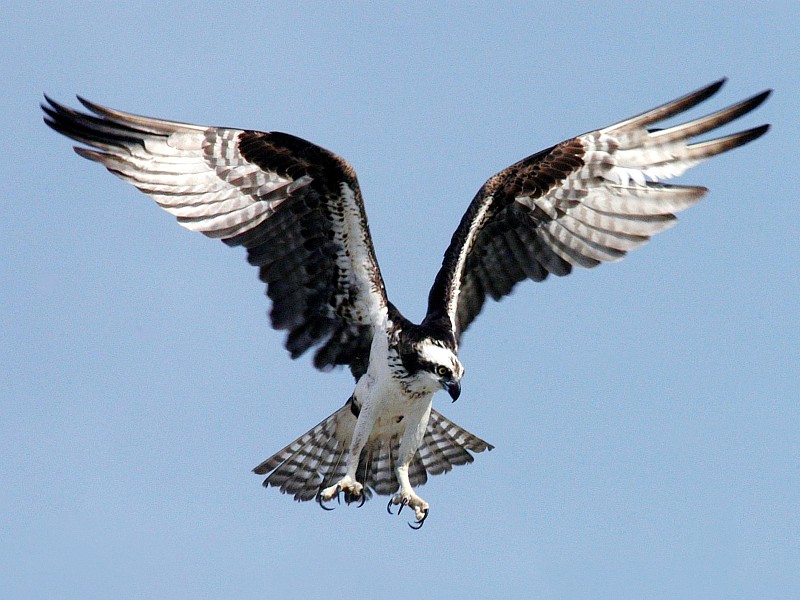 With Wings Outspread, Powerful and Fearsome Talons Extended, and Intensely Focused Eyes, the Osprey (or Fish Hawk) Prepares to Acquire Its, Perhaps Unsuspecting, Prey. Kennedy Space Center, Merritt Island National Wildlife Refuge, State of Florida, USA. Photo Credit: Kennedy Media Gallery - Wildlife (http://mediaarchive.ksc.nasa.gov) Photo Number: KSC-04PD-1248, John F. Kennedy Space Center (KSC, http://www.nasa.gov/centers/kennedy), National Aeronautics and Space Administration (NASA, http://www.nasa.gov), Government of the United States of America.