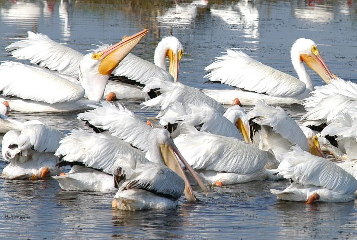 White Pelicans Enjoy Eating in a Lake North of Kennedy Space Center in the Merritt Island National Wildlife Refuge, State of Florida, USA. Photo Credit: Kennedy Media Gallery - Wildlife (http://mediaarchive.ksc.nasa.gov) Photo Number: KSC-04PD-0895, John F. Kennedy Space Center (KSC, http://www.nasa.gov/centers/kennedy), National Aeronautics and Space Administration (NASA, http://www.nasa.gov), Government of the United States of America.